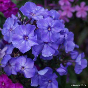 flioksai-blue-paradise
