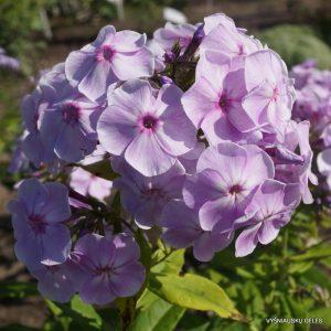 flioksai-hortensia