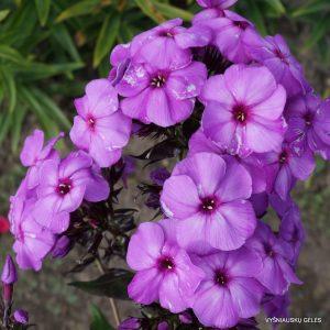 flioksai-purple-paradise