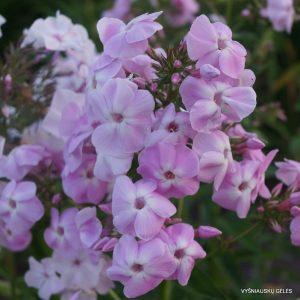 flioksai-rosa-goliath