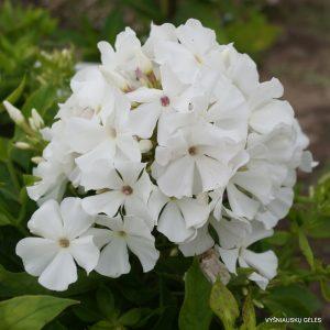 flioksai-white-flame