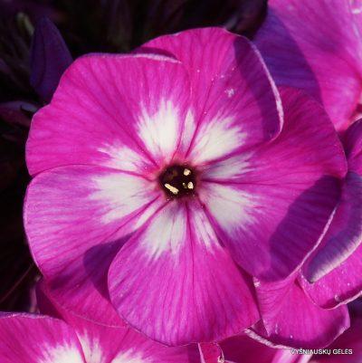 flioksai-adessa-special-purple-star-2
