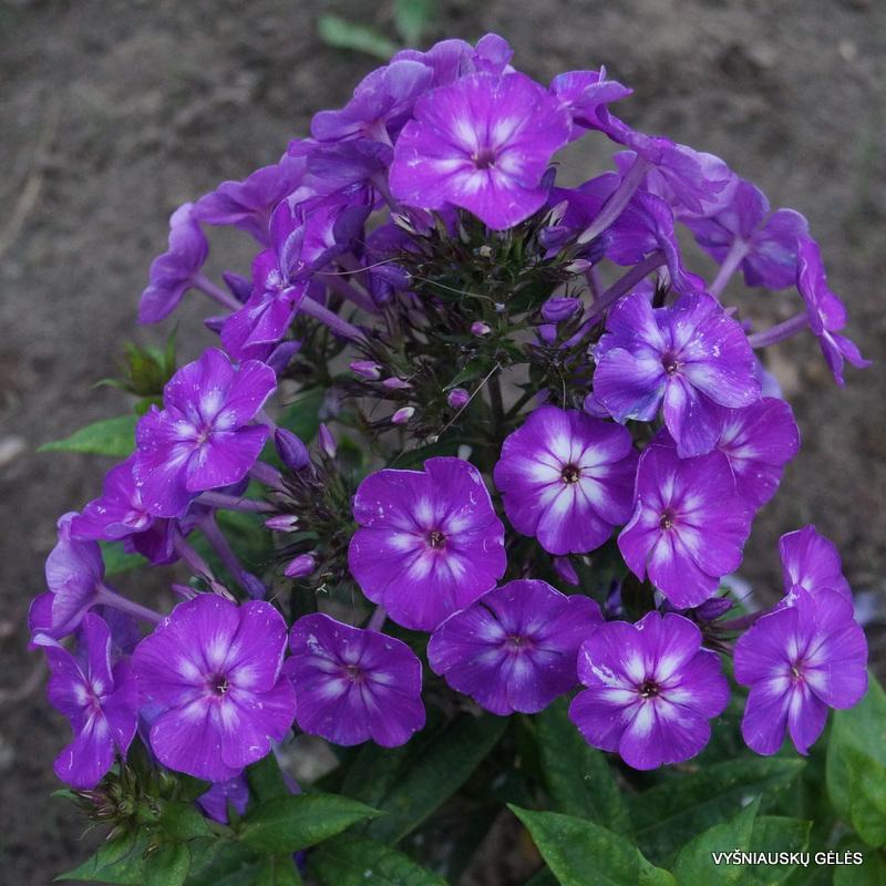 flioksai-adessa-special-purple-star-3