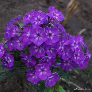 flioksai-adessa-special-purple-star