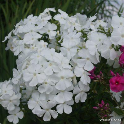 flioksai-alba-grandiflora