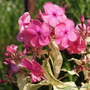 flioksai-paniculata-elizabeth