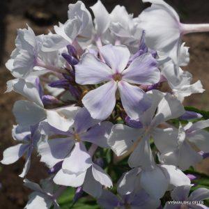 flioksai-paniculata-nebesa