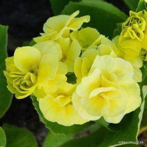 raktazoles-avon-citronella
