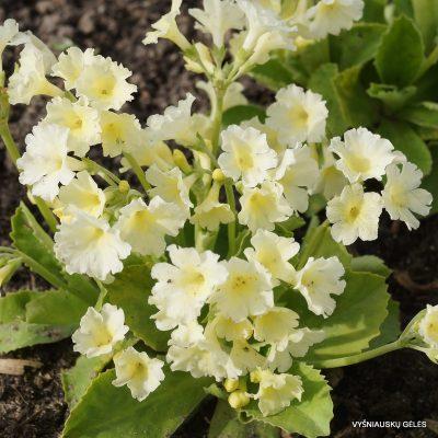 raktazoles-bewerly-white