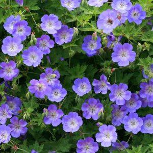 Geranium Gerwat Rozanne