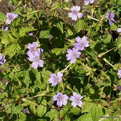 snapuciai-sweet-lilac