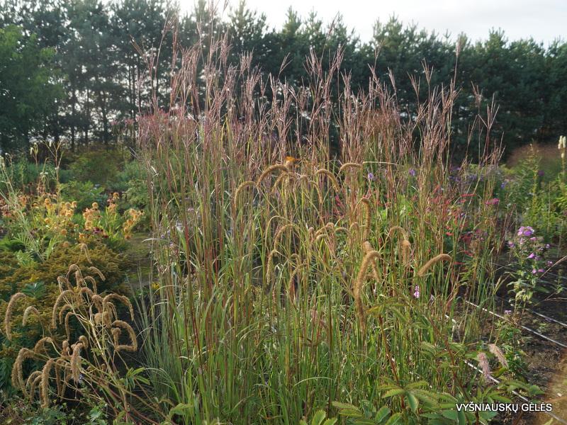 Andropogon gerardii 'Prairie Sommer' (3)