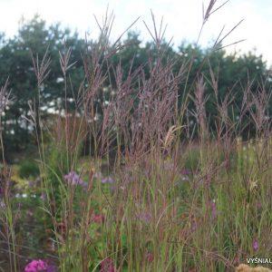 Andropogon gerardii 'Prairie Sommer'