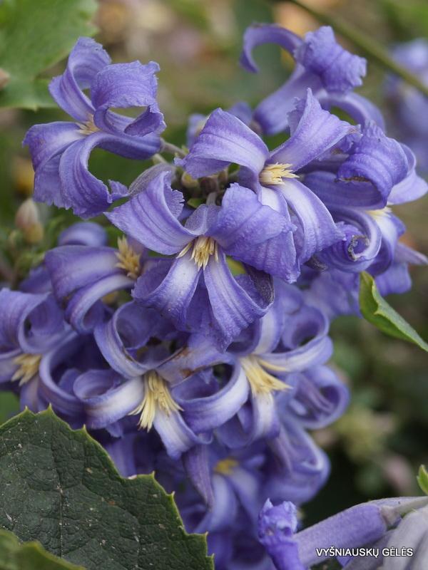 Clematis heracleifolia 'New Love' (2)