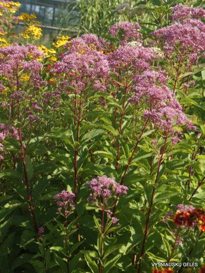 Eupatorium 'Phantom' (2)