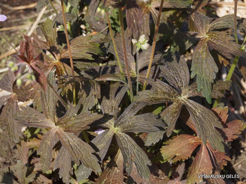 Geranium maculatum 'Espresso' (3)