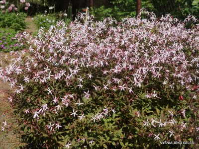 Gillenia trifoliata 'Pink Profusion' (2)
