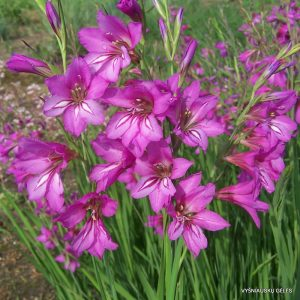 Gladiolus caucasicus