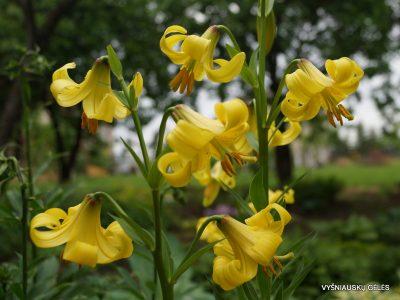 Lilium-monodelphum-3