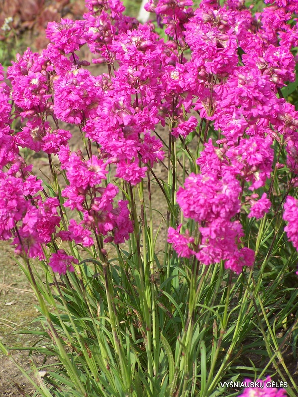 Lychnis viscaria 'Plena' (2)
