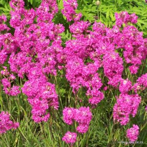 Lychnis viscaria 'Plena'