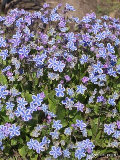 Omphalodes cappadocica 'Starry Eyes' (2)