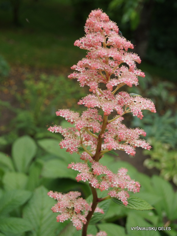 Rodgersia pinnata 'Cally Salmon' (3)