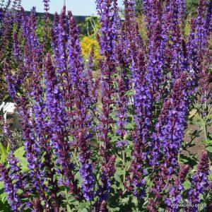 Salvia nemorosa 'Jan Spruyt'