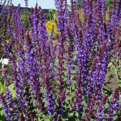 Salvia nemorosa 'Jan Spruyt'