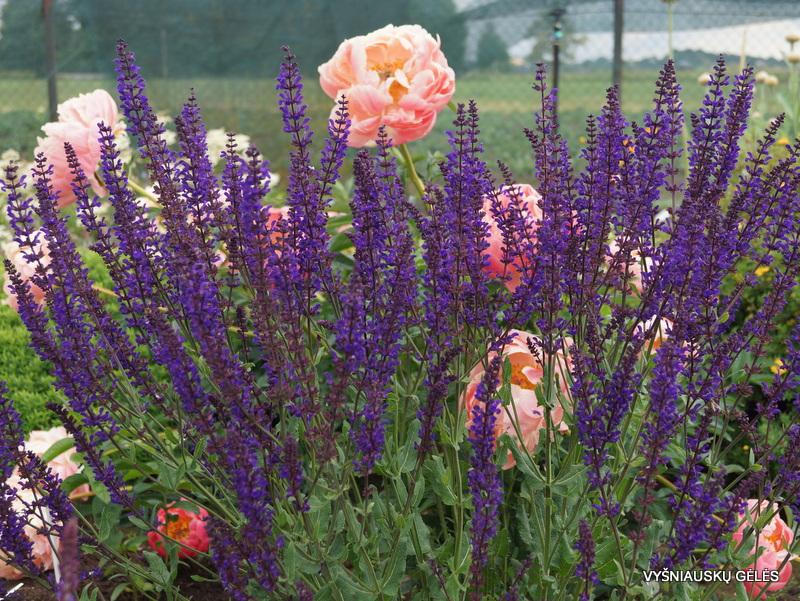 Salvia nemorosa 'Slimming Blue'