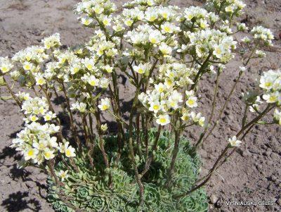 Saxifraga 'Rainsley Seedling' (3)