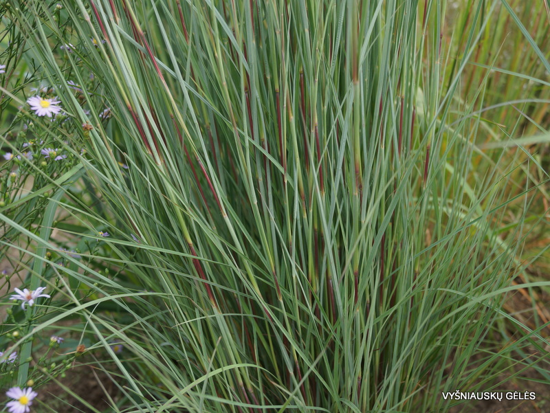 Schizachyrium scoparium 'The Blues' (3)