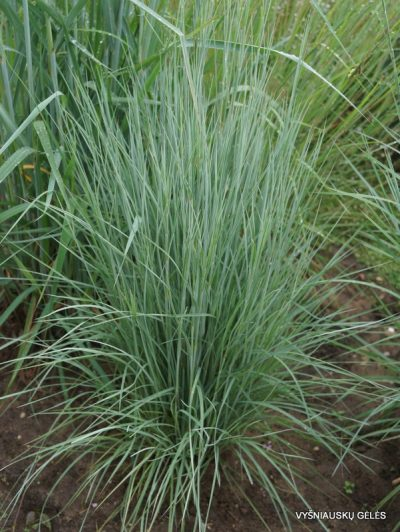 Schizachyrium scoparium 'The Blues'