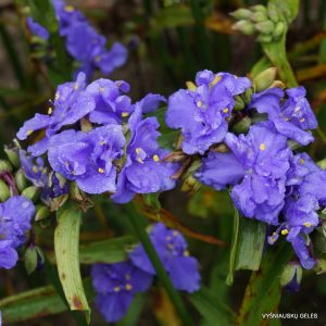 Tradescantia 'Mac's Double'