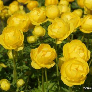 Trollius europaeus 'Lemon Supreme'