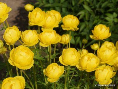 Trollius europaeus 'Lemon Supreme' (2)