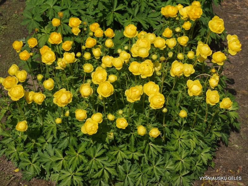 Trollius europaeus 'Lemon Supreme' (3)