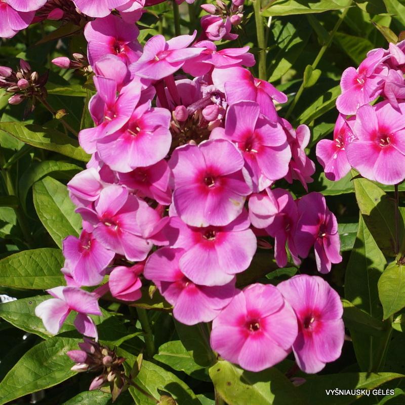 flioksai-'Adessa-Rose-Eye' (2)