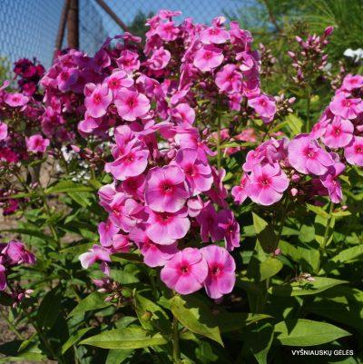 flioksai-'Adessa-Rose-Eye'