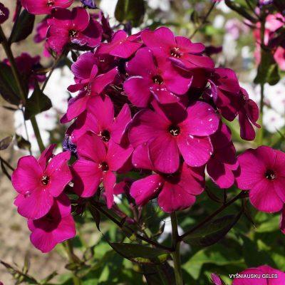 flioksai-'Adessa-Special-Deep-Purple' (2)