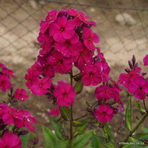 flioksai-'Adessa-Special-Deep-Purple'