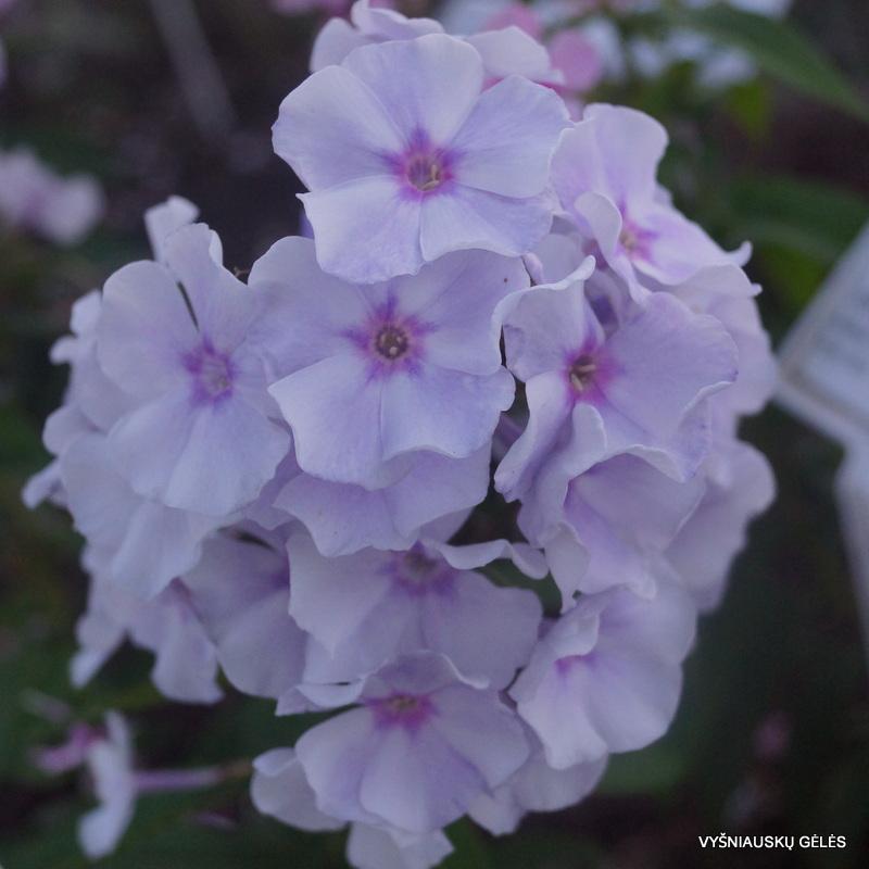 flioksai-'Golubka' (3)