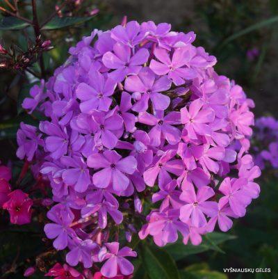 flioksai-'Lucs-Lilac'