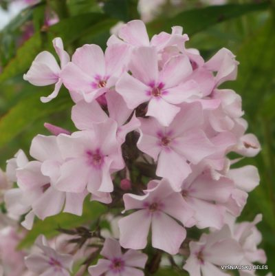 flioksai-'Nedotroga' (2)