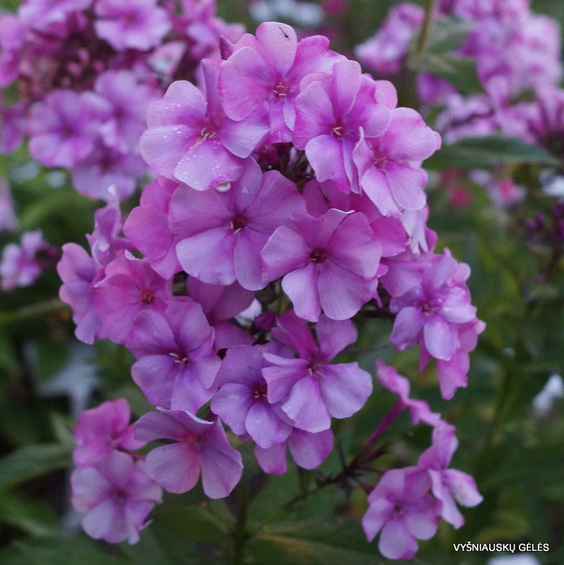 flioksai-'Penelopa' (3)
