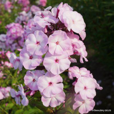 flioksai-'Tsvetushchaya-Sakura' (2)