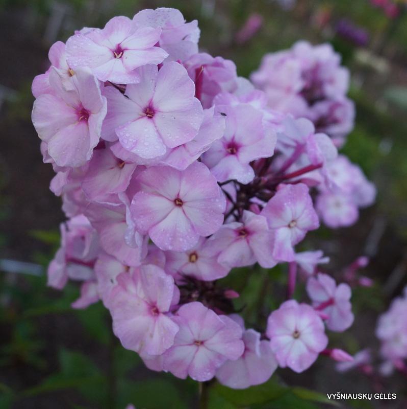 flioksai-'Tsvetushchaya-Sakura' (3)