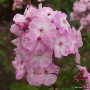flioksai-'Tsvetushchaya-Sakura'