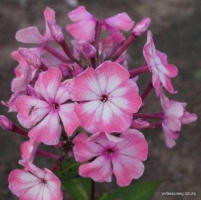 flioksai-'Valentina-Gaganova' (2)