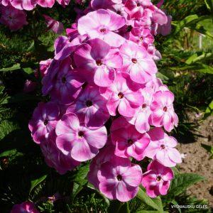 flioksai-'Younique-Old-Pink'